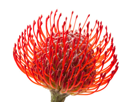 protea flower: red protea flower isolated on white background Stock Photo