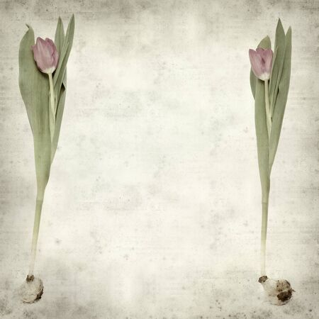textured old paper with magenta tulip photo