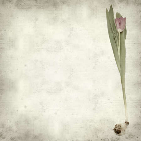 textured old paper background with magenta tulip photo