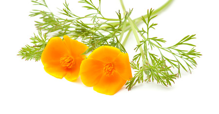 californian: Bright orange-yellow Californian poppy isolated on white