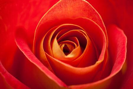 spiralling: variegated yellow and orange rose natural