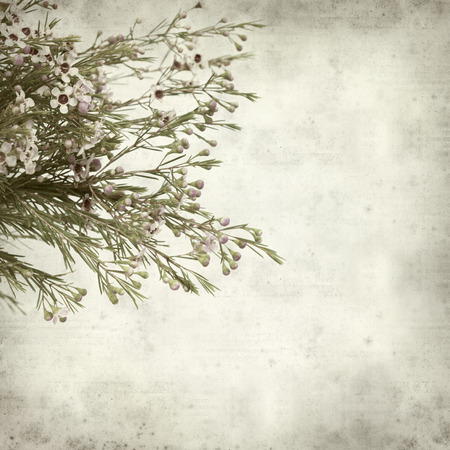 textured old paper background with waxflower photo