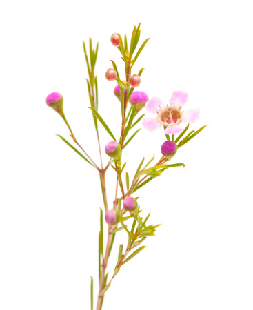 small pink wax flower isolated on white background photo