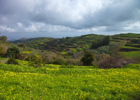invasive: Inland Gran Canaria, winter, invasive yellow Oxalis flowers on the terraced slopes Stock Photo