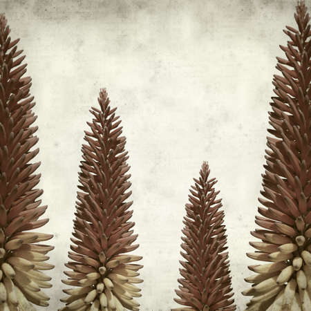 flowering aloe: textured old paper background with aloe plant flowering spike