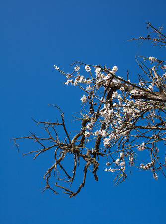 old half-dead almond tree with one flowering branch, sunshine photo