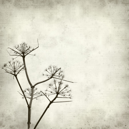 fennel seed: textured old paper background with dry dead fennel seed stalks