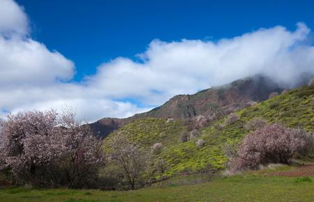 blossom time: Gran Canaria, Caldera de Tejeda in winter, almond blossom time