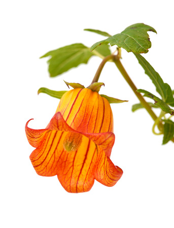 canariensis: Canarina canariensis, canarian bellflower, endemic to Canary Islands Stock Photo