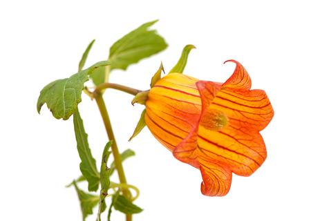scrambling: Canarina canariensis, campanula canario, endemica Isole Canarie Archivio Fotografico