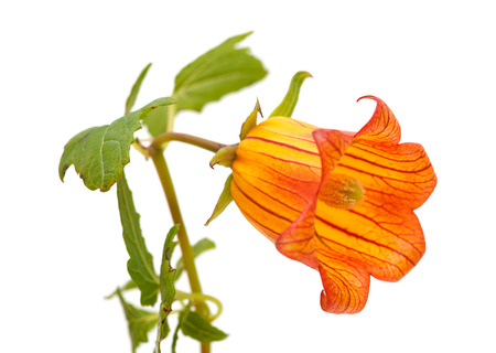 endemic: Canarina canariensis, canarian bellflower, endemic to Canary Islands Stock Photo