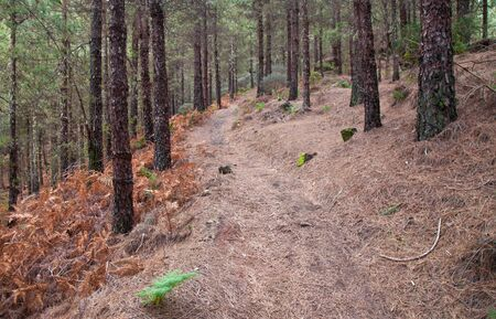 canariensis: Flora of Canary Islands - Inland Gran Canaria, forests of canarian pine, Pinus Canariensis, hiking trail Stock Photo