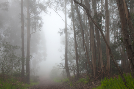 all weather: Inland Gran Canaria, fog at the crest of Valleseco, eucalyptus woods