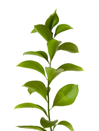Ruscus hypophyllum, Spineless Butchers Broom, florists foliage plant, isolated on white photo