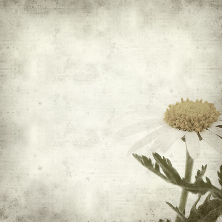 argyranthemum: textured old paper background with  canarian marguerite daisy Stock Photo