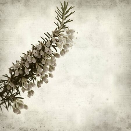 erica: textured old paper background with Erica arborea, tree heath
