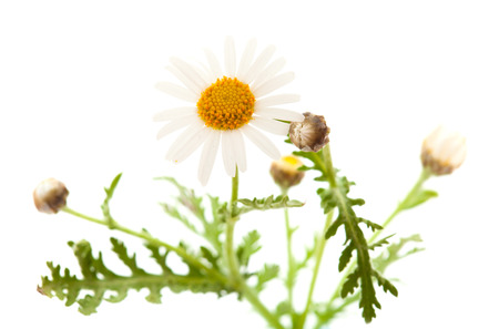 argyranthemum: Argyranthemum adauctum flower isolated on white background