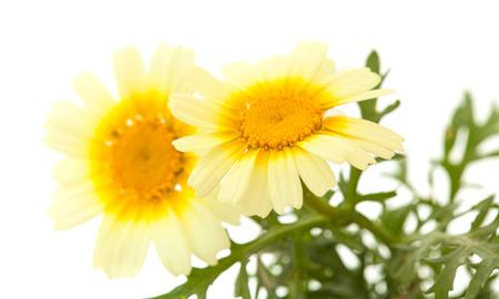coronarium: All-yellow Garland chrysanthemum isolated on white background