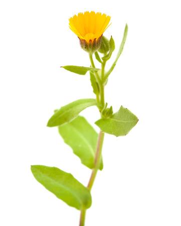 aegyptiaca: Calendula aegyptiaca isolated on white background