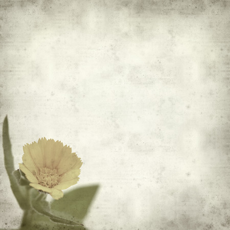 aegyptiaca: textured old paper background with Calendula aegyptiaca