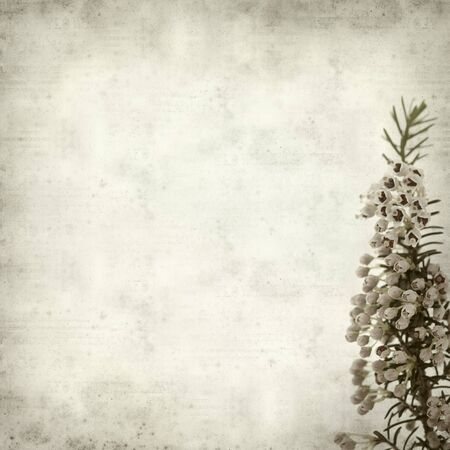 erica: textured old paper background with Erica arborea, tree heath