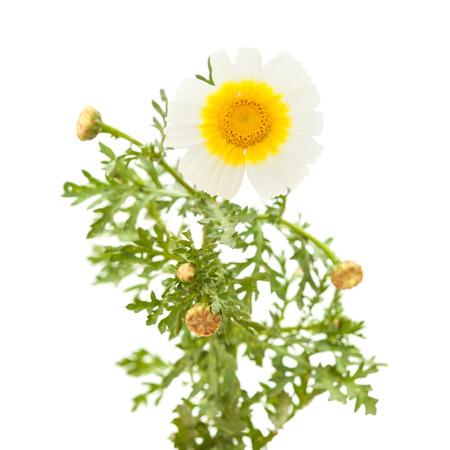 coronarium: Yellow and white Garland chrysanthemum isolated on white background