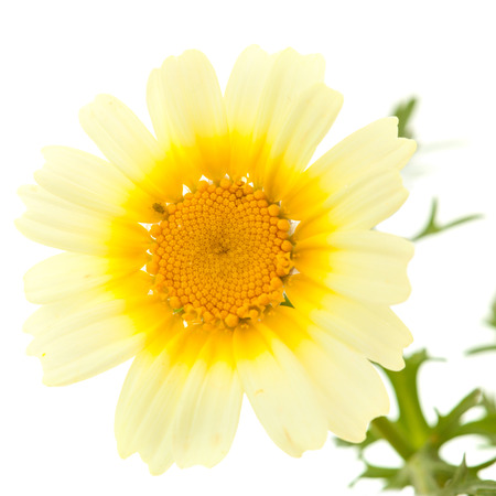 All-yellow Garland chrysanthemum isolated on white background photo