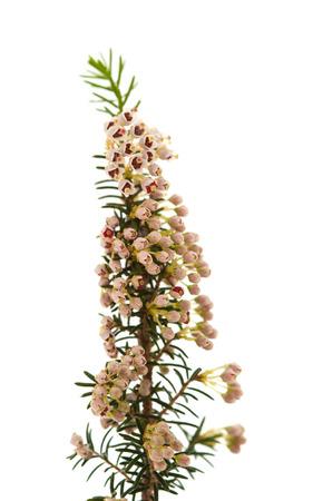 erica: Erica arborea, tree heath, isolated on white background