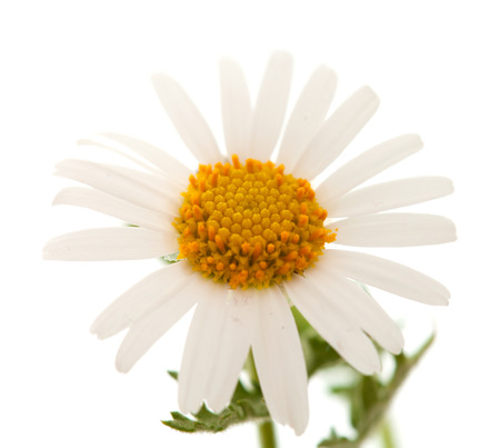 argyranthemum: Argyranthemum adauctum, canarian marguerite daisy flower isolated on white background