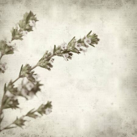 textured old paper background with flowering thyme photo