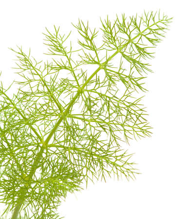 foeniculum: young green lacy fennel leaf isolated on white background