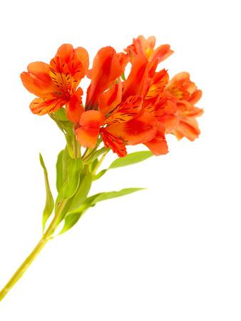 alstroemeria: orange Alstroemeria flowers isolated on white background
