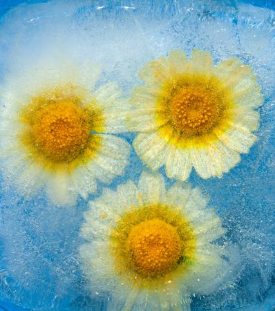 deep freeze: frozen flora -  garland chrysanthemum frozen into a block of ice
