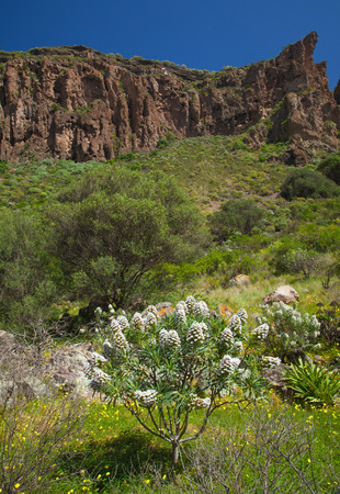 endemic: Echium decaisnei, Plant endemic to Canary Islands, flowers in Caldera de Bandama Stock Photo