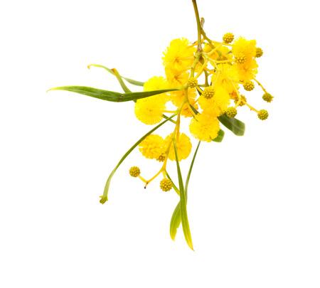 yellow fluffy flowers of Acacia cyanophylla isolated on white photo