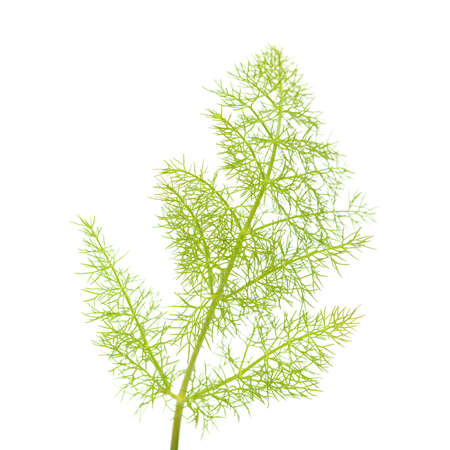 young green lacy fennel leaf isolated on white background