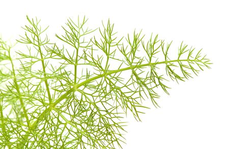 ajenjo: hoja joven encaje hinojo verde aislado en el fondo blanco Foto de archivo