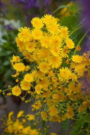 Sonchus canariensis, Canarian tree dandelion, natural floral background photo