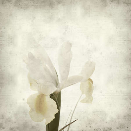 textured old paper background with white and yellow iris flower photo