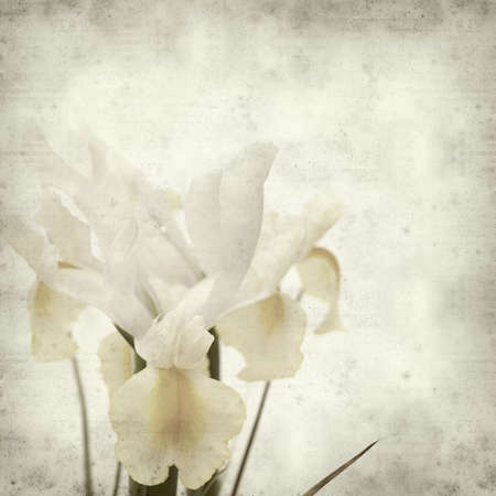 white textured paper: textured old paper background with white and yellow iris flower Stock Photo