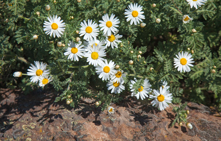 argyranthemum: Flora of Gran Canaria - flowering Argyranthemum, canarian marguerite daisy Stock Photo