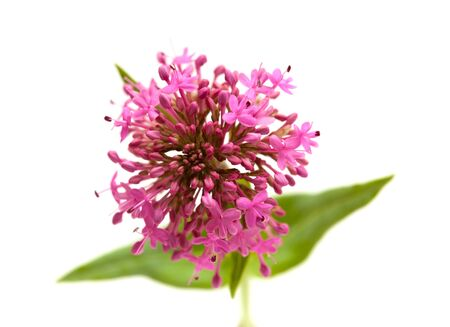 valerian plant: small flowers of Centranthus ruber isolated on white background