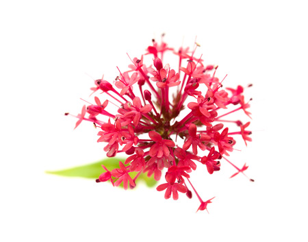 valerian plant: small flowers of Centranthus ruber isolatad on white background
