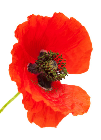 frilled: Bright red poppy flower isolated on white background