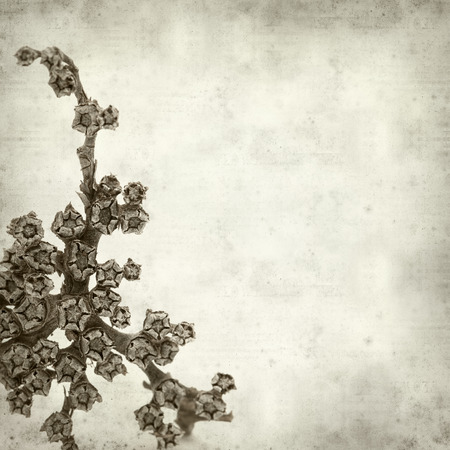 iceplant: textured old paper background with dry rosette of Aizoon canariense, canarian iceplant Stock Photo