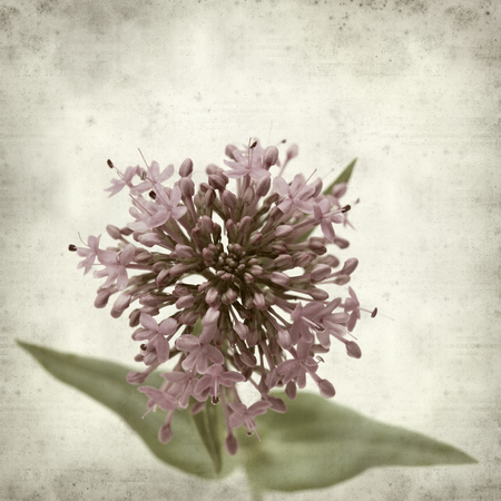 valerian: textured old paper background with red valerian
