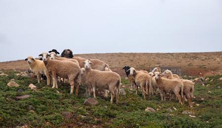 overcast: sheep on Fuertevetura, rainy overcast day Stock Photo