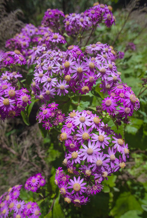 mass flowering: Blooming Pericallis steetzii, plant endemic to La Gomera, Canary Islands