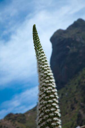 echium: tall flowering spike of Echium simplex, plant endemic to Tenerife