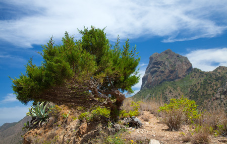 vallehermoso: La Gomera, Vallehermoso, wind-shapes thuja